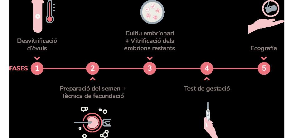 Descongelacio ovuls en la vitrificació d'òvuls embriogyn